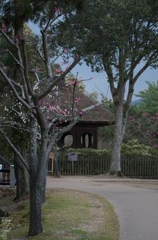 奈良公園・梅_2012_yaotomi_10.jpg