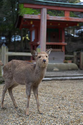 奈良公園・梅_2012_yaotomi_17.jpg