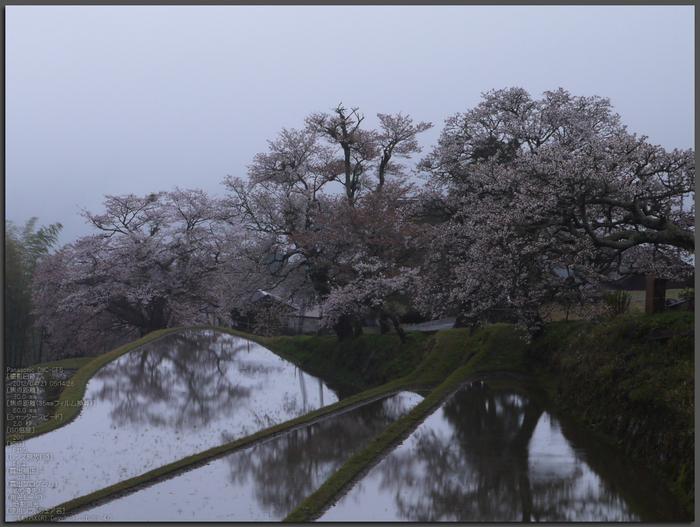 三多気_桜_2012_GF5_yaotomi_top1.jpg