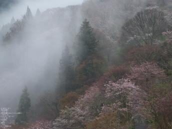吉野山_桜_その1_2012_yaotomi_2.jpg