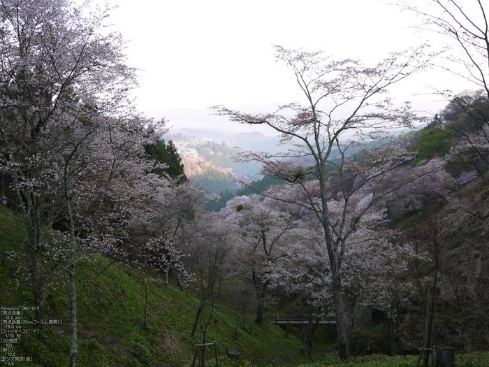 吉野山_桜_2012年_八百富_10.jpg