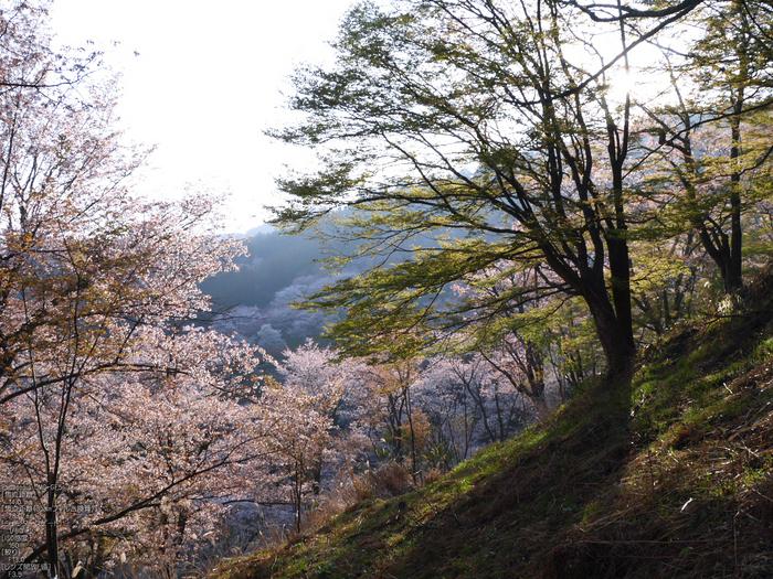 吉野山_桜_2012年_八百富_23.jpg