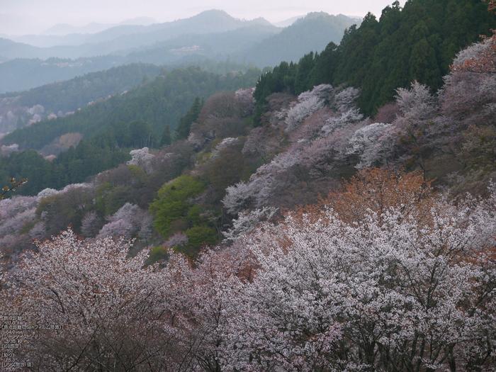 吉野山_桜_2012年_八百富_3.jpg