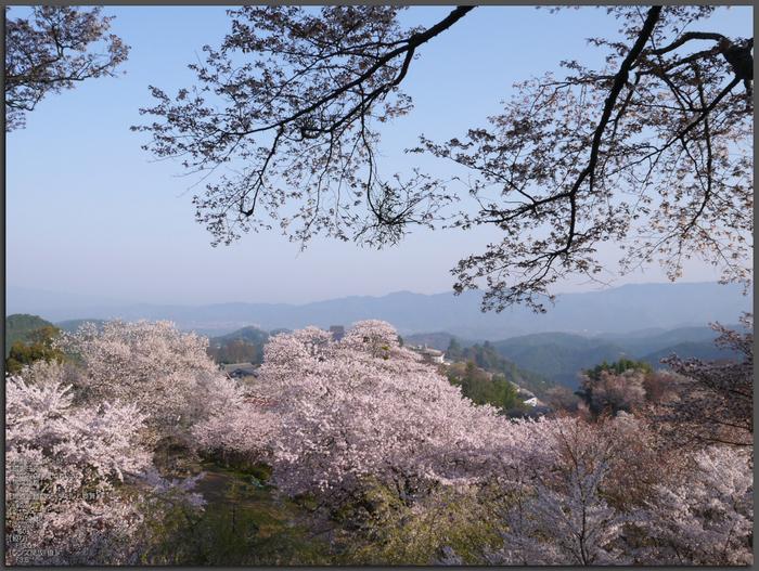 吉野山_桜_2012年_八百富_top2.jpg