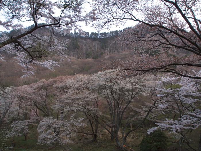 屏風岩公苑_桜_OM-D_yaotomi_3.jpg
