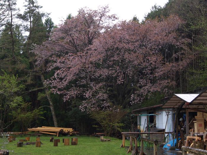 月桜_2012_OLYMPUS_E-M5_13.jpg