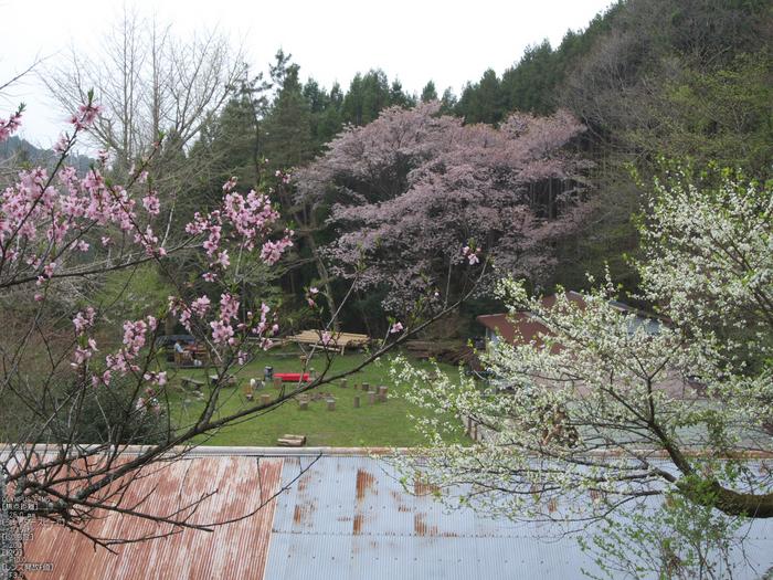月桜_2012_OLYMPUS_E-M5_21.jpg