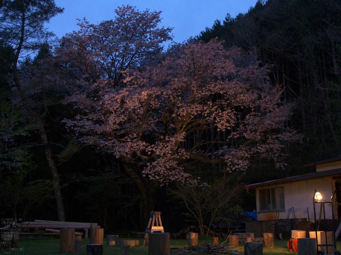 月桜_2012_OLYMPUS_E-M5_7.jpg