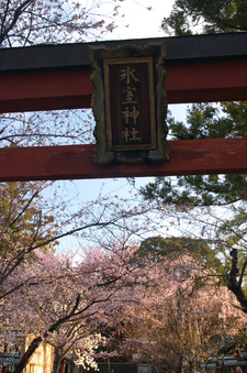 氷室神社_しだれ桜_2012_yaotomi_11.jpg