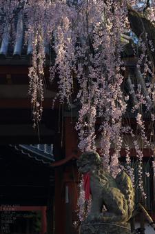 氷室神社_しだれ桜_2012_yaotomi_16.jpg