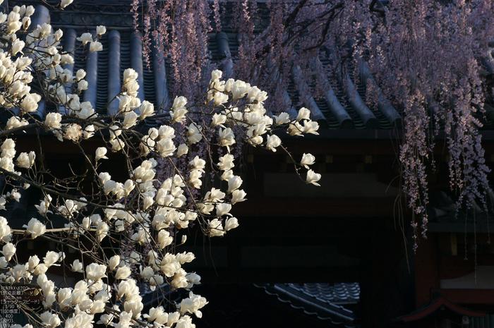 氷室神社_しだれ桜_2012_yaotomi_17.jpg