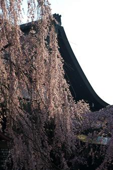 氷室神社_しだれ桜_2012_yaotomi_18.jpg