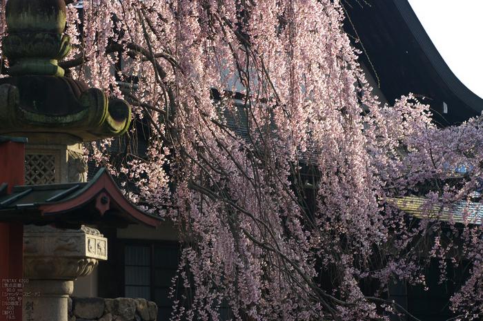 氷室神社_しだれ桜_2012_yaotomi_20.jpg