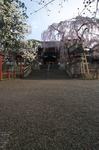 氷室神社_しだれ桜_2012_yaotomi_3.jpg