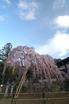 氷室神社_しだれ桜_2012_yaotomi_5.jpg