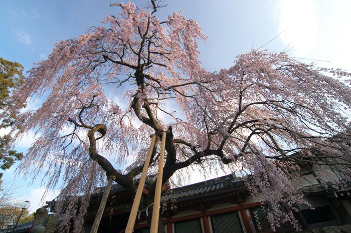 氷室神社_しだれ桜_2012_yaotomi_6.jpg