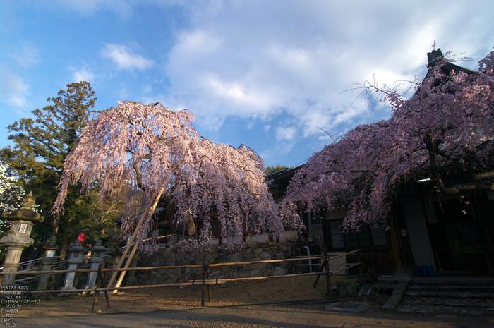 氷室神社_しだれ桜_2012_yaotomi_8.jpg