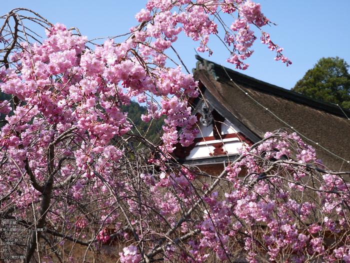 談山神社_桜_2012_GF5_yaotomi_8.jpg
