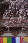 醍醐寺_桜_2012_yaotomi_3.jpg