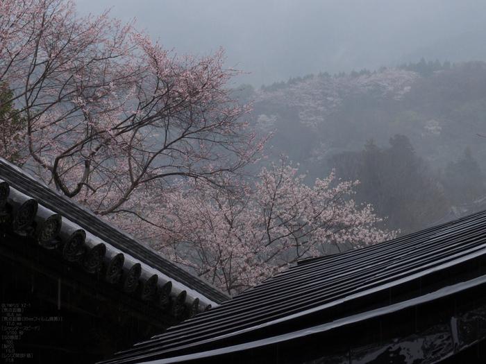長谷寺_桜_2012_yaotomi_10.jpg