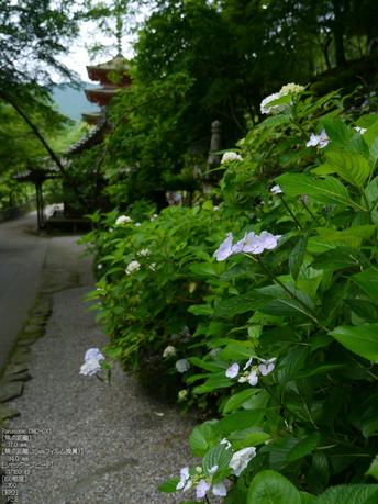 長谷寺紫陽花2012_LUMIX_12-35mm_yaotomi_17.jpg