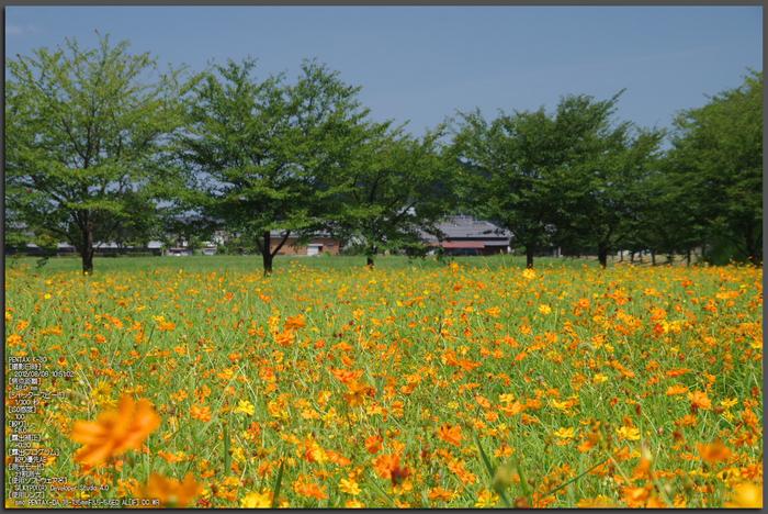 藤原宮跡_キバナコスモス_2012_yaotomi_お写ん歩_1.jpg