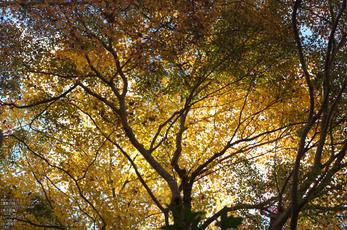 瑠璃光院紅葉_2012yaotomi_2.jpg