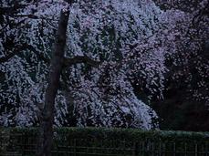 京都御苑近衞邸跡_桜_yaotomi2013_10s.jpg