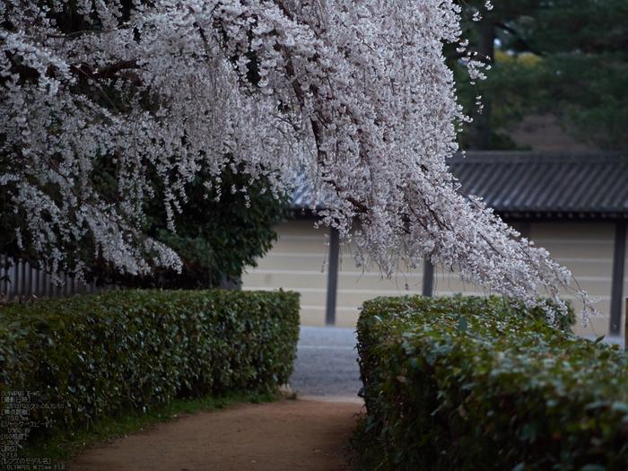 京都御苑近衞邸跡_桜_yaotomi2013_17s.jpg