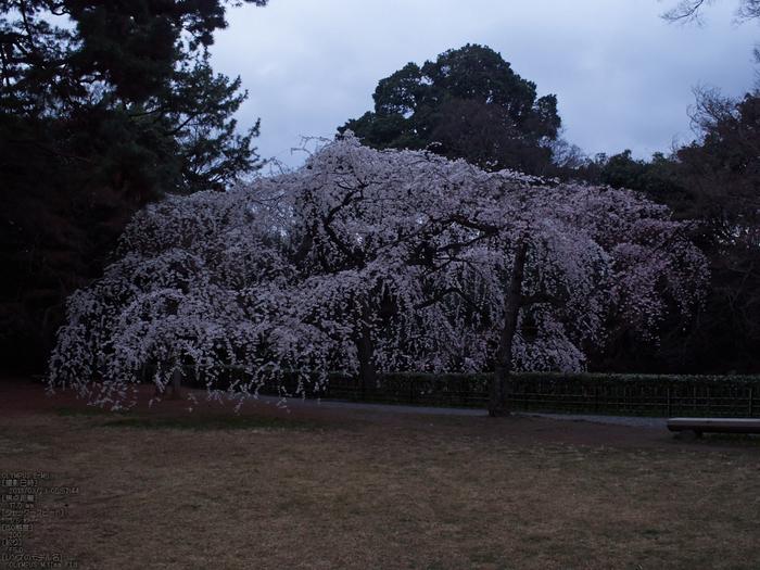 京都御苑近衞邸跡_桜_yaotomi2013_7s.jpg