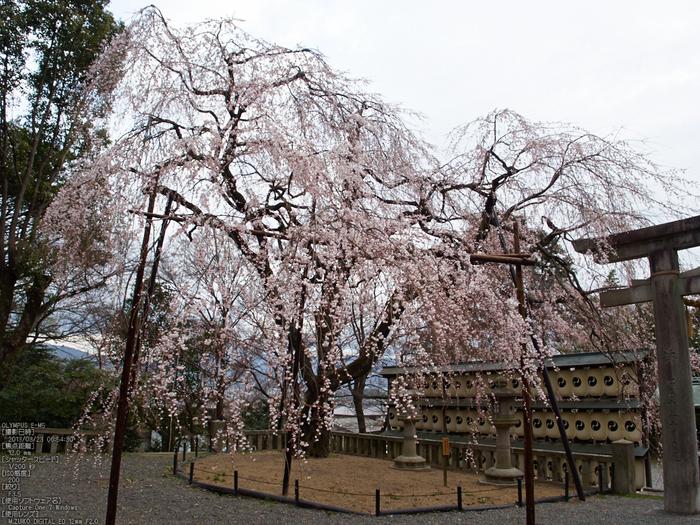 大石神社_しだれ桜_2013yaotomi_6s.jpg