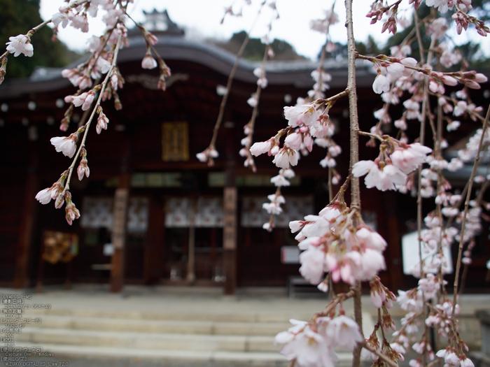 大石神社_しだれ桜_2013yaotomi_8s.jpg