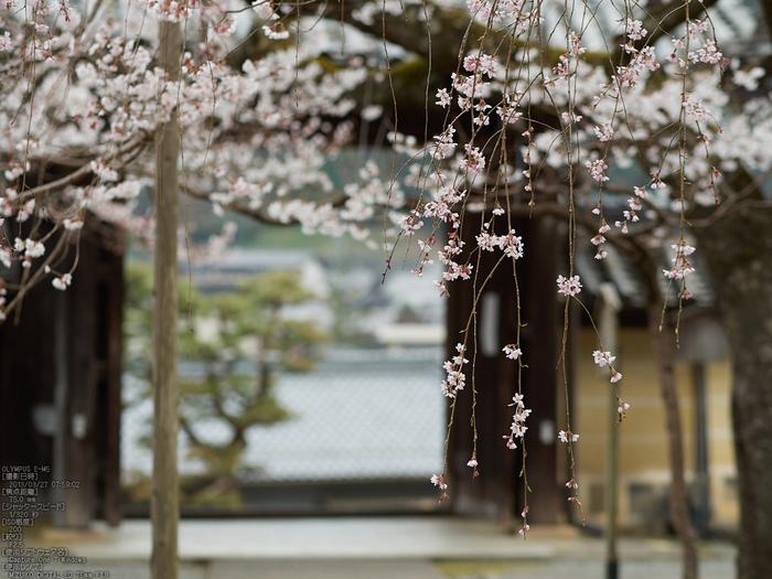 本善寺・桜_2013yaotomi_10s.jpg
