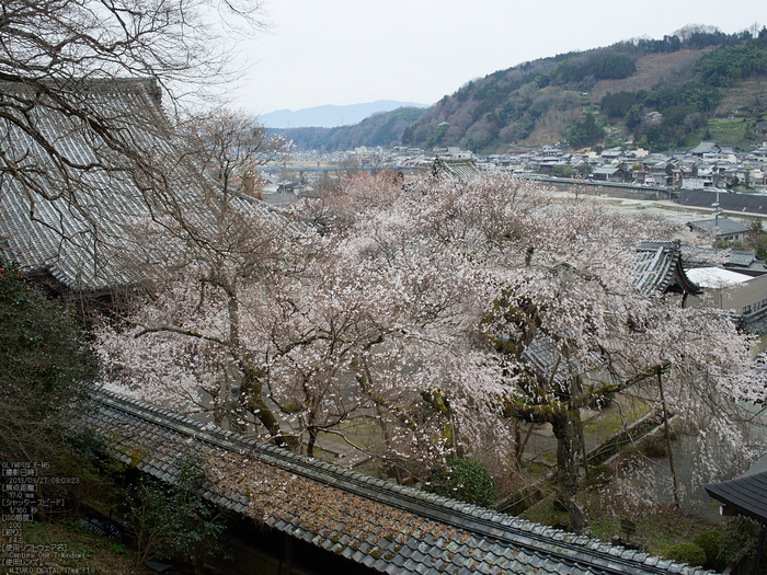 本善寺・桜_2013yaotomi_15s.jpg