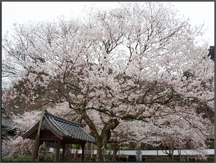 本善寺・桜_2013yaotomi_1st.jpg