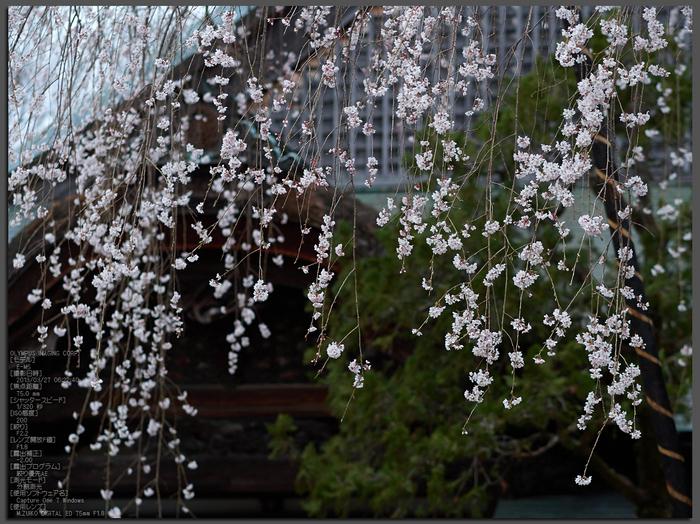 東南院(吉野山)_桜_2013yaotomi_1st.jpg