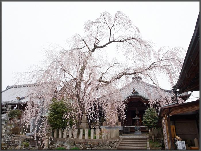 桜本坊(吉野山)_桜_2013yaotomi_1st.jpg
