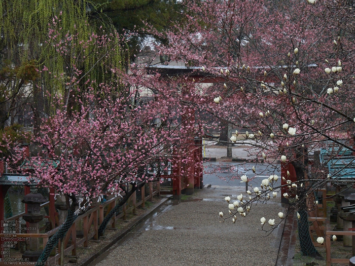氷室神社・桜_2013yaotomi_10s.jpg