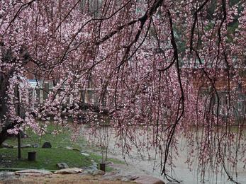 氷室神社・桜_2013yaotomi_11s.jpg