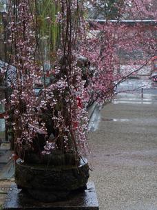 氷室神社・桜_2013yaotomi_17s.jpg