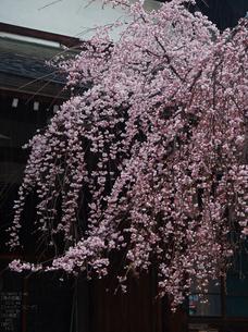 氷室神社・桜_2013yaotomi_23s.jpg