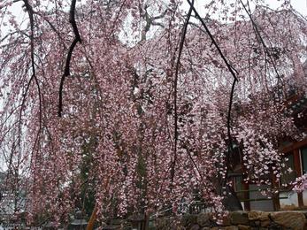 氷室神社・桜_2013yaotomi_25s.jpg