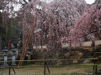 氷室神社・桜_2013yaotomi_5s.jpg