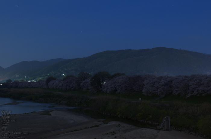 背割堤_桜_2013yaotomi_2s.jpg