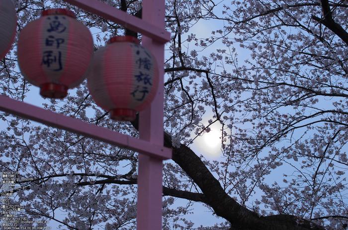 背割堤_桜_2013yaotomi_8s.jpg