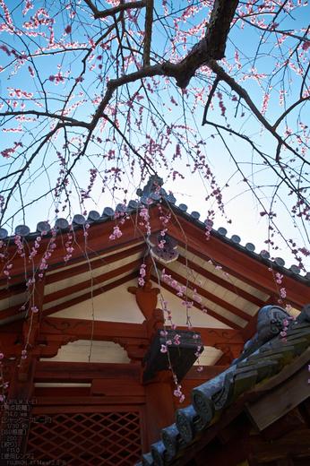 観心寺_梅_2013yaotomi_28s.jpg