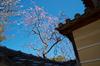 観心寺_梅_2013yaotomi_30s.jpg