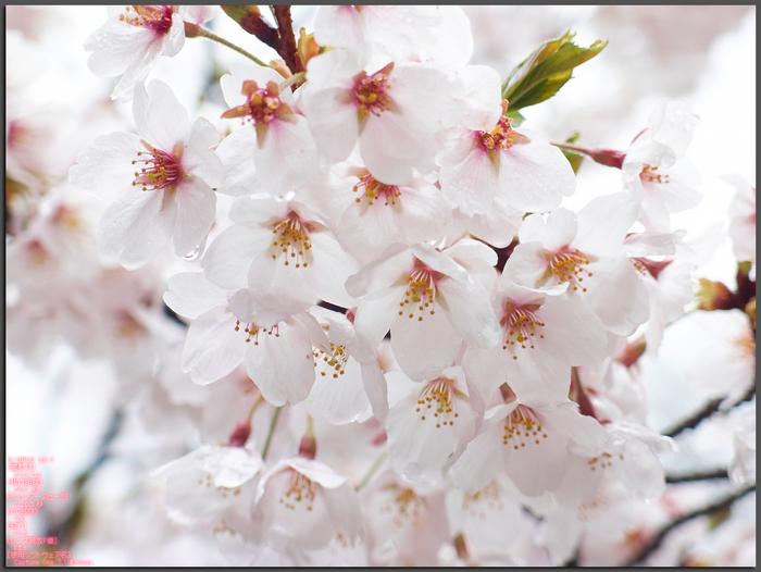 20130311_桜yaotomi_1st.jpg