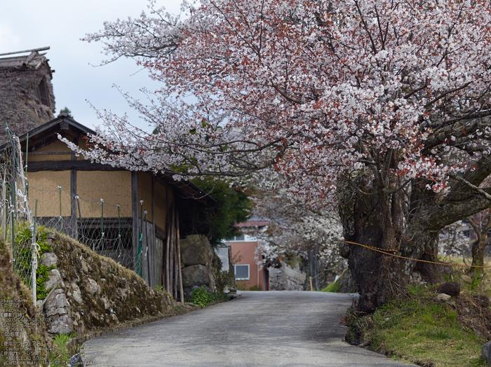 三多気の桜_2013yaotomi_10s.jpg