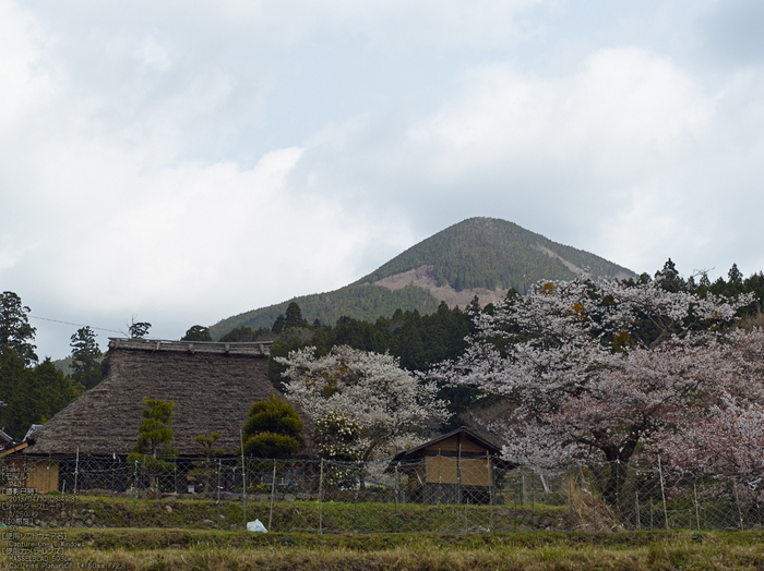 三多気の桜_2013yaotomi_11s.jpg